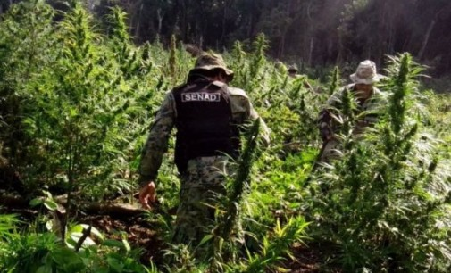 Decomisan plantación de marihuana en Morombí