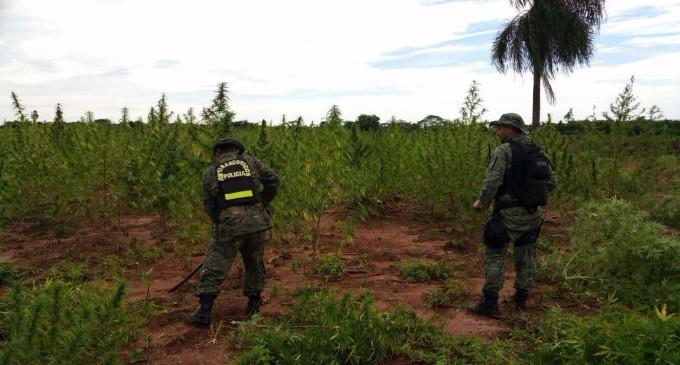 Destruyen 7 hectáreas de marihuana en etapa de cosecha