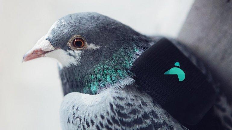 Medirán la calidad del aire con palomas