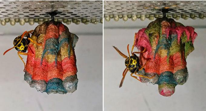 Avispas construyen nidos arcoíris hechos de papel