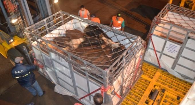 Las vacas paraguayas: ¿seguirán volando?
