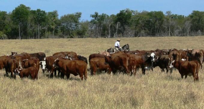 Destacan genética bovina paraguaya