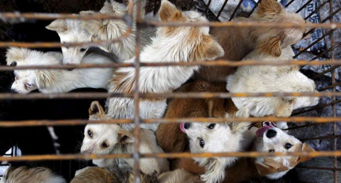 Activistas rescatan a 1.300 animales destinados al festival de la carne de perro en China