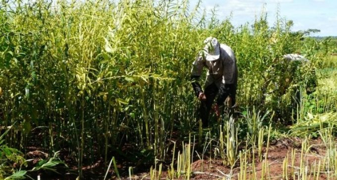 15.000 pequeños productores exportarán sésamo a Japón