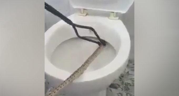 'Rescata' a una serpiente del inodoro