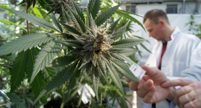 Senado aprobó proyecto para crear programa de investigación del cannabis