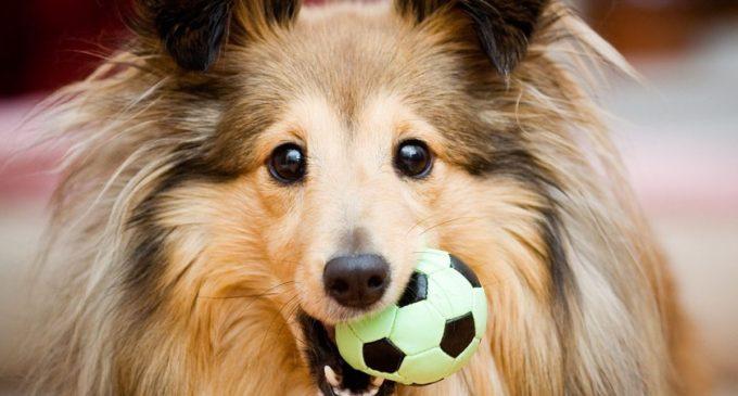 ¿Cuántas palabras humanas entienden los perros?