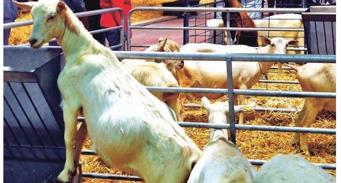 SENACSA niega contagio de brucelosis a veterinarios en Expo