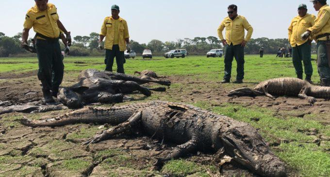Terrible y lamentable: decenas de vacas y yacarés mueren por sequía en el centro de Brasil