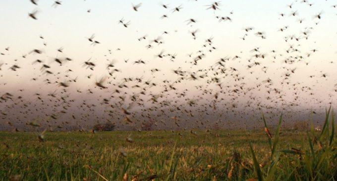 Paraguay libre de invasión de langostas
