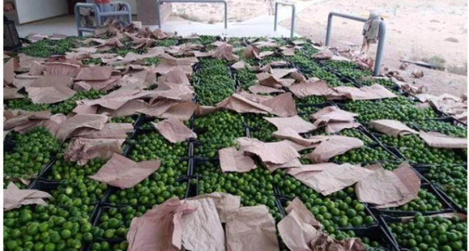 México: Un camión llevaba limones, pero escondía un multimillonario cargamento de drogas con rumbo a Estados Unidos