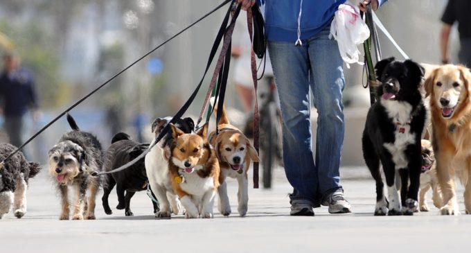 """""""Los perros son animales con mucha energía y necesitan distraerse"""": El paseador de perros ofrece sus servicios"""