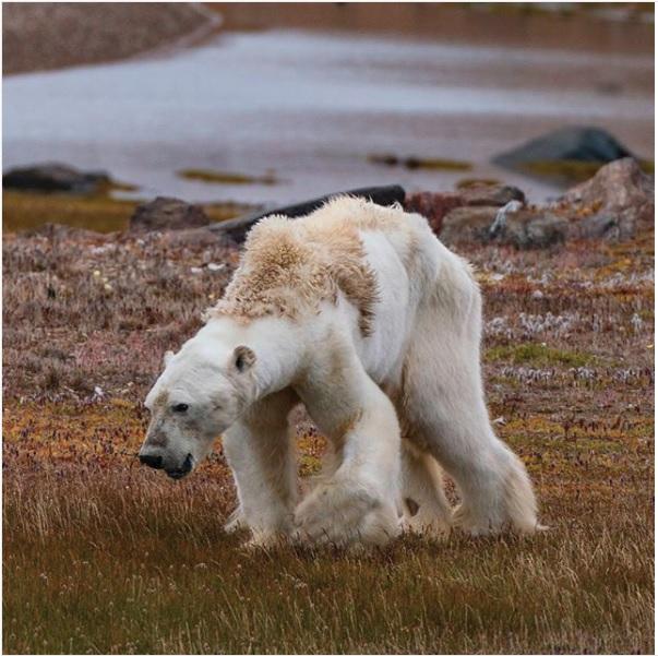 La desgarradora imagen de un oso polar muriendo de hambre en el Ártico