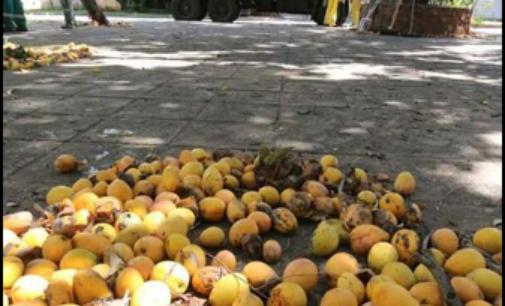 Mangos paraguayos serán vendidos en Europa