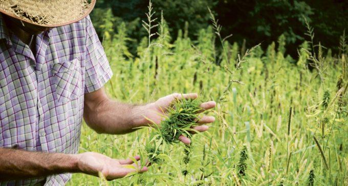 Inician investigaciones para permitir la utilización y plantación del cannabis medicinal