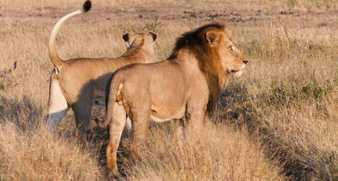 Leones matan a cazador ilegal en Sudáfrica