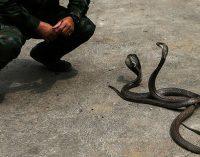Famoso encantador de serpientes muere intentando atrapar una cobra