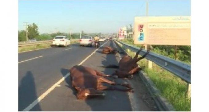 Murieron caballos tras ser atropellados por una camioneta