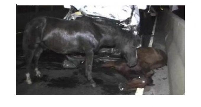 Caballos atropellados sobre Ñu Guasu no pertenecen al Ejército
