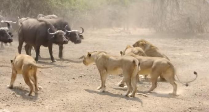 Un grupo de búfalos hace frente y resiste al ataque de leonas