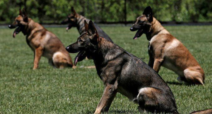 Canes son amaestrados para detectar violadores
