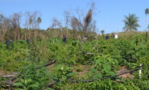 Se topan con hectáreas de marihuana en San Pedro