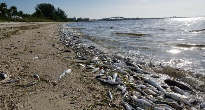 EE.UU.: Una histórica marea roja mata a miles de animales marinos en Florida