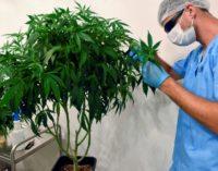 OMS pide sacar al cannabis de entre las drogas peligrosas