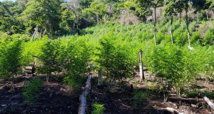 Eliminan más de 300 toneladas de marihuana en Amambay
