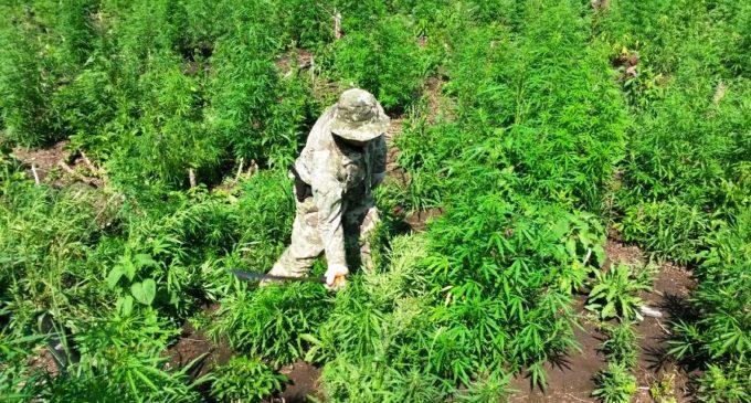 Alianza de Paraguay, Argentina y Brasil plantea soluciones ante cultivo de marihuana