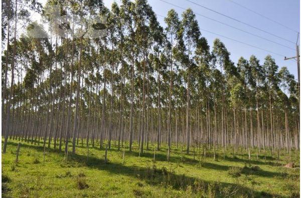 Crean programa de forestación de eucalipto