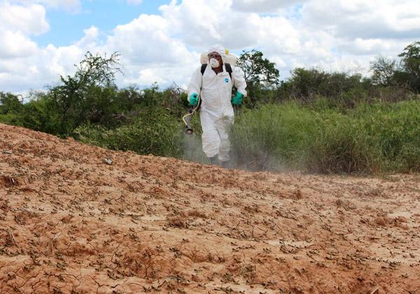 SENAVE intensifica fumigaciones contra langostas en el Chaco